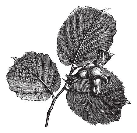 엷은 갈색 또는 Corylus 특검팀. 가시 총포 잎과 견과류를 보여주는, 빈티지 새겨진 그림