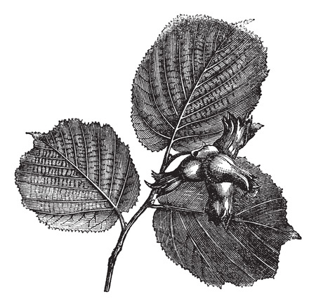 corylus: Hazel or Corylus sp. showing leaves and nuts with spiny involucres, vintage engraved illustration