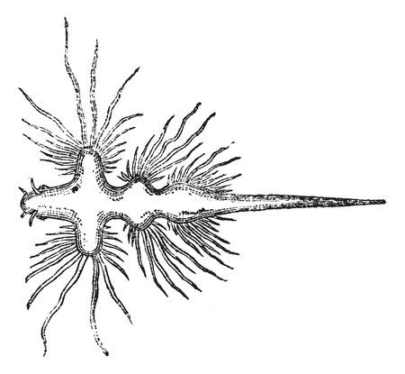 slug: Sea Slug or Nudibranch, vintage engraved illustration. Trousset encyclopedia (1886 - 1891). Illustration
