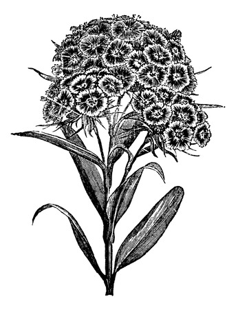 perennial: Carnation Barbu (Dianthus barbatus) or Sweet William. vintage engraved illustration