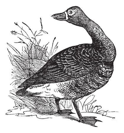 White-fronted goose (Anser Gambelii), vintage engraved illustration