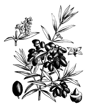 rama de olivo: Oliva com�n o Olea Europaea, ilustraci�n de la vendimia grabado