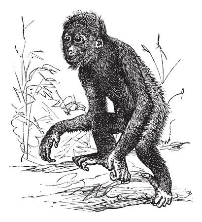 arboreal: Orangutan or Pithecus satyrus, vintage engraved illustration
