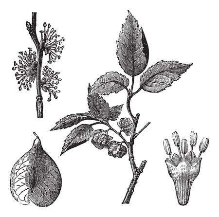 Elm or Ulmus campestris, vintage engraved illustration Vettoriali