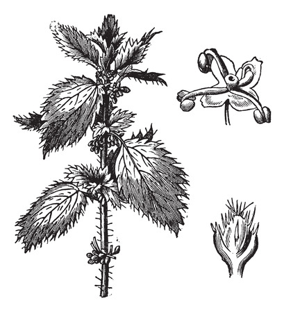 nettle: Stinging nettle or Urtica urens, with the staminate flowers and pistillate flowers, vintage engraved illustration