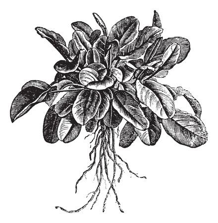 정원 밤색 또는 Rumex의 acetosa 또는 일반적인 밤색. 다양한 벨빌, 빈티지 새겨진 그림이라고