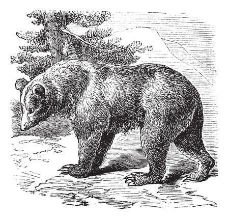 Cinnamon Bear (Ursus occidentalis), vintage engraved illustration Vector