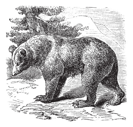 cannelle: Cinnamon Bear (Ursus occidentalis), vintage engraved illustration