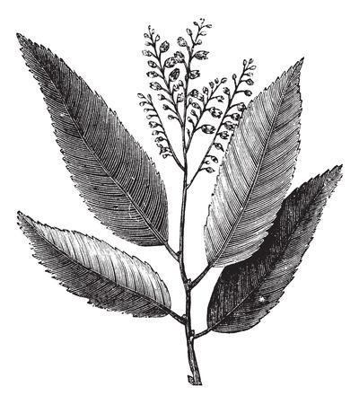 sorrel: Sourwood or Sorrel Tree or Oxydendrum arboreum, showing flowers, vintage engraved illustration Illustration