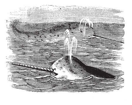 zoological: Narwhal or Monodon monoceros, vintage engraved illustration