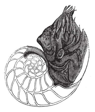 zoological: Chambered Nautilus or Nautilus pompilius, showing chambers, vintage engraved illustration. Trousset encyclopedia (1886 - 1891).