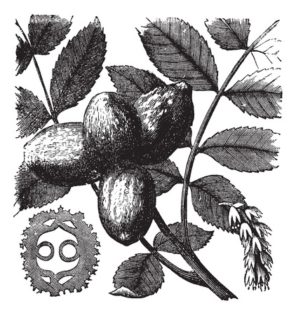 Walnut or Juglans sp., showing flowers (right) and nuts (left and center), vintage engraved illustration Ilustração