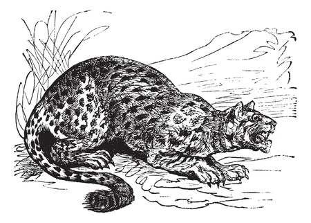felidae: Oncilla or Little Spotted Cat or Tigrillo or Cunaguaro or Tiger Cat or Leopardus tigrinus, vintage engraved illustration. Trousset encyclopedia (1886 - 1891).