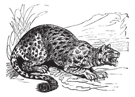 Oncilla or Little Spotted Cat or Tigrillo or Cunaguaro or Tiger Cat or Leopardus tigrinus, vintage engraved illustration. Trousset encyclopedia (1886 - 1891).