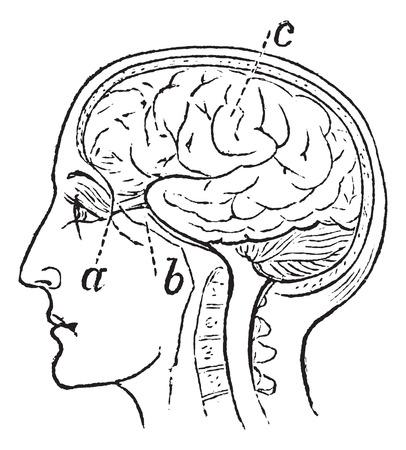 nervios: Nervio Óptico, cosecha ilustración grabada. Trousset enciclopedia (1886 - 1891).