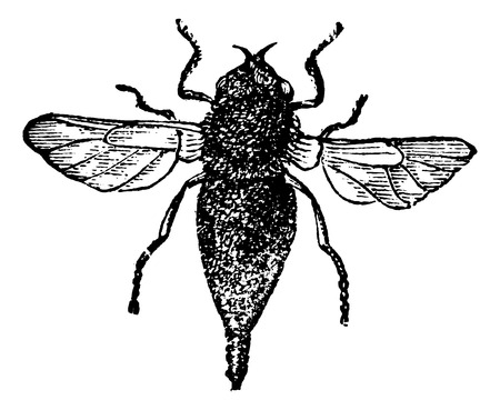 housefly: Gasterophilus or horse bot fly vintage engraved illustration