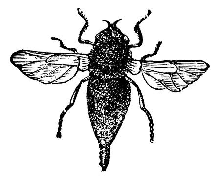 Gasterophilus or horse bot fly vintage engraved illustration