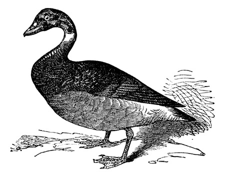 barnacle: The Brent Goose, Black Brant or Branta Bernicla, vintage engraving vintage engraved illustration