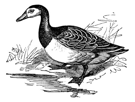 wildfowl: Barnacle goose (Branta leucopsis), vintage engraved illustration Illustration