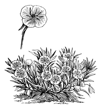 Oenothera missouriensis or Missouri Evening Primrose or Ozark Sundrop, vintage engraved illustration