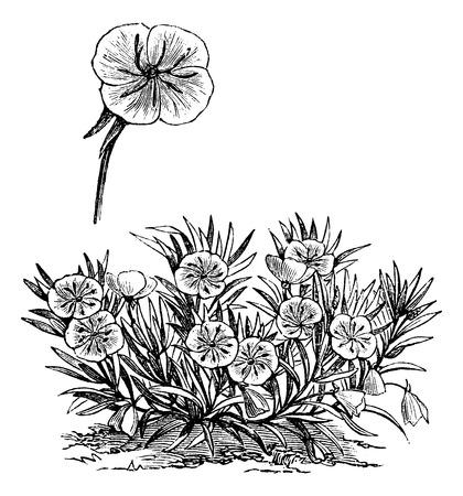 primrose: Oenothera missouriensis or Missouri Evening Primrose or Ozark Sundrop, vintage engraved illustration