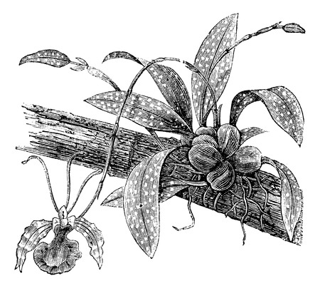 Butterfly Oncidium or Oncidium Papilio on a branch isolated on white, vintage engraved illustration