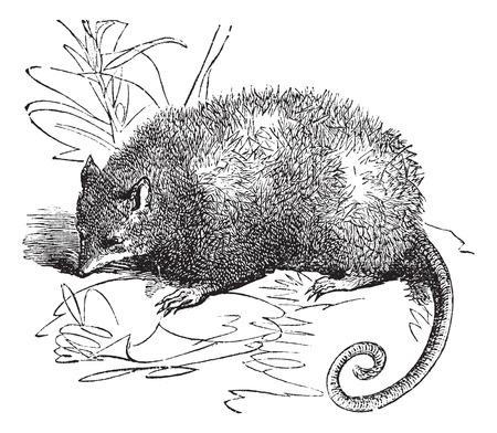 opossum: Opossum or Didelphis Virginiana, vintage engraved illustration Illustration