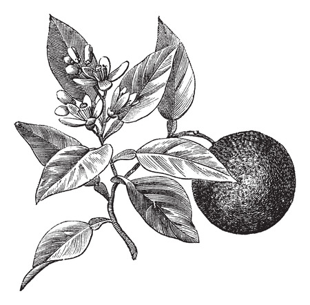 Sweet orange or Citrus aurantium, isolated on white, vintage engraved illustration