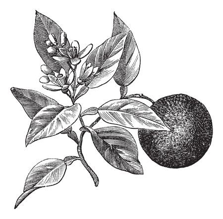 Zoete sinaasappel of Citrus aurantium, geïsoleerd op wit, vintage gegraveerde illustratie
