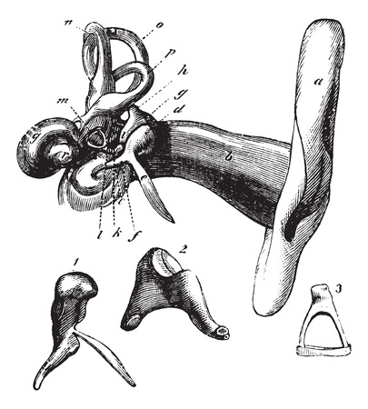 Human ear anatomy or Parts of the hearing aid. - A, outer ear, b, canal c, tympanic membrane; d, head of the hammer; e process of bone hammer, f, hammer handle; g, anvil (incus), h, i, short process and long process of the anvil; k, L, articulation of the Illustration
