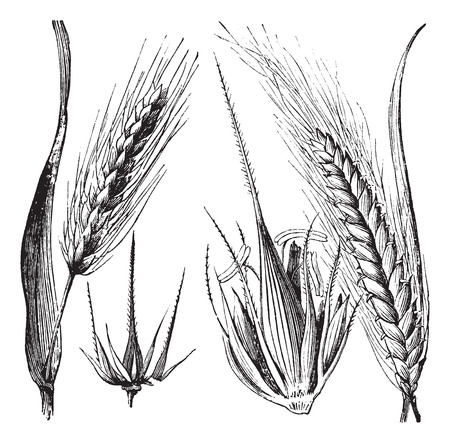 Common barley or Hordeum vulgare, Barley hinge or Hordeum distichum, vintage engraved illustration