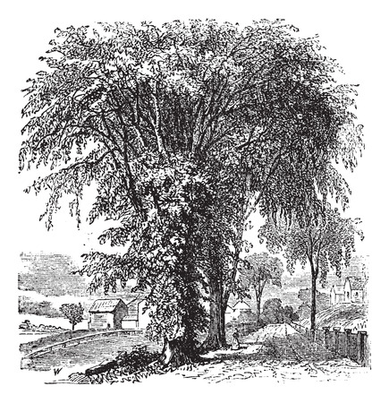 americana: American elm or Ulmus Americana, vintage engraved illustration. Trousset encyclopedia (1886 - 1891). Illustration