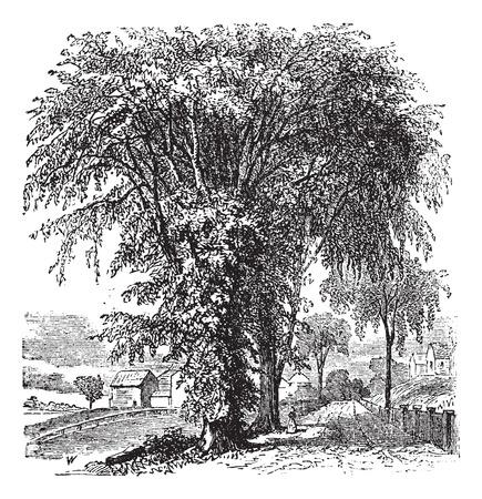 Olmo americano o Ulmus Americana, vintage illustrazione inciso. Trousset enciclopedia (1886 - 1891).