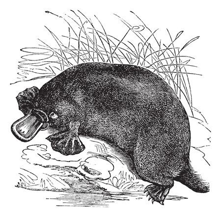 platypus: Ornithorhynchus paradoxus or Platypus, vintage engraved illustration
