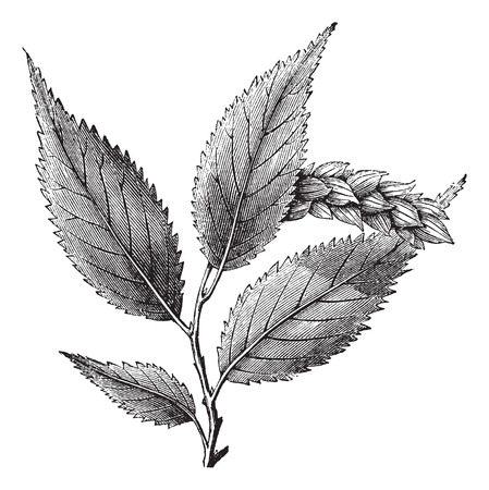 ironwood: Ostrya Virginica or Hophornbeam, vintage engraved illustration. Trousset encyclopedia (1886 - 1891).