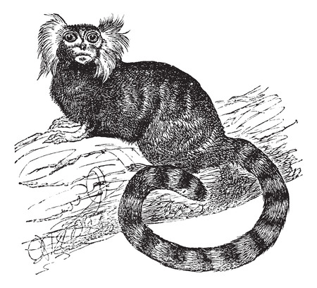 in common: Common marmoset (Hapal jacchus), vintage engraved illustration
