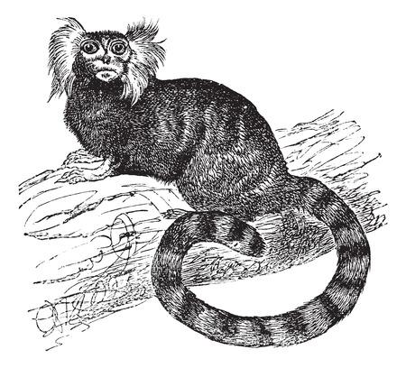 Common marmoset (Hapal jacchus), vintage engraved illustration