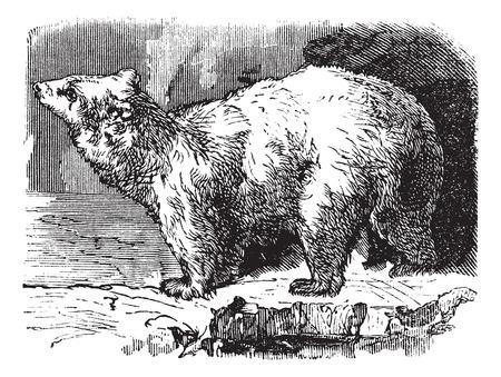 Polar bear (Ursus maritimus), vintage engraved illustration. Trousset encyclopedia (1886 - 1891). Vector