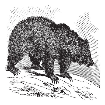 JACK Bear (Ursus horribilis), vintage engraved illustration.  Trousset encyclopedia (1886 - 1891). Vector