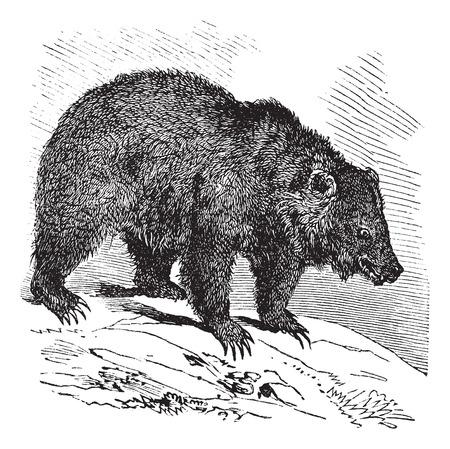 ursus: JACK Bear (Ursus horribilis), vintage engraved illustration.  Trousset encyclopedia (1886 - 1891).