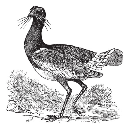 Great Bustard (Otis tarda), vintage engraved illustration Vector