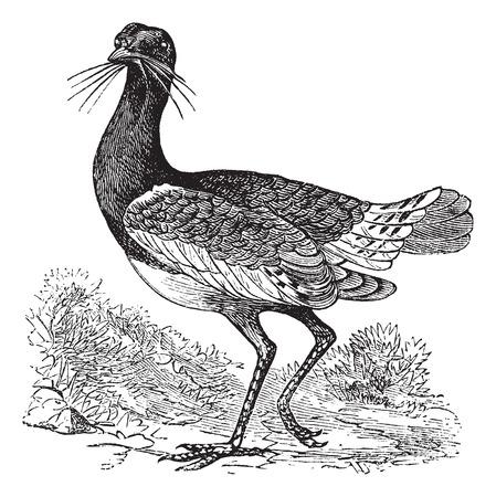 Great Bustard (Otis tarda), vintage engraved illustration Иллюстрация