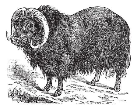 musk: Muskox (Ovibos moschatus, musk ox), vintage engraved illustration
