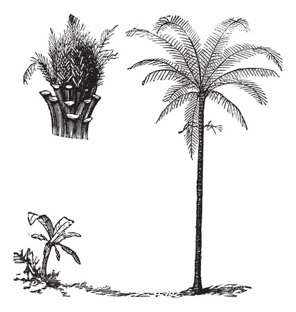 Royal Palm or Roystonea regia, vintage engraved illustration, showing seedling development Illustration