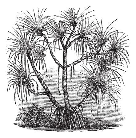 pandanus tree: Old engraved illustration of Pandanus candelabrum tree. Illustration