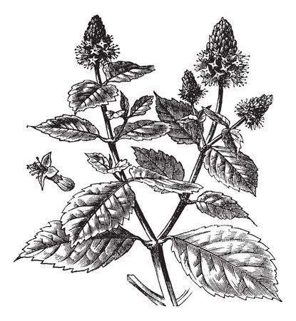 패 출리 또는 Pogostemon의 cablin, 빈티지 새겨진 그림. Trousset 백과 사전 (1886-1891). 일러스트