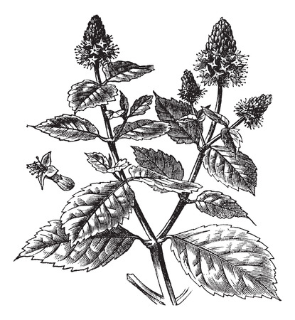 herbology: Patchouli or Pogostemon cablin, vintage engraved illustration. Trousset encyclopedia (1886 - 1891).