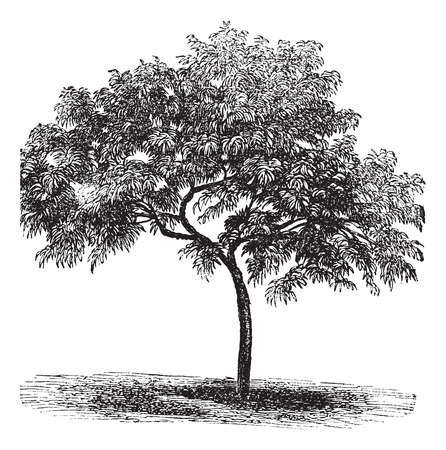 peach tree: Peach or Prunus persica, vintage engraved illustration