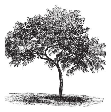 dessin noir et blanc: Peach ou Prunus persica, millésime gravé illustration Illustration