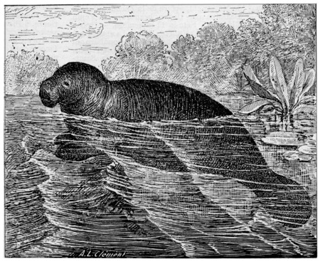 manatee: Manatee or Sea cows, vintage engraved illustration. Dictionary of words and things - Larive and Fleury - 1895.
